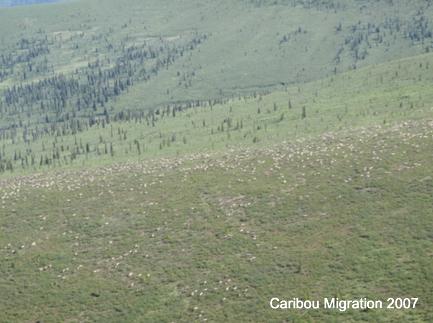 Caribou Migration 2007
